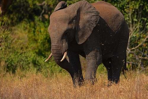 elephant black elephant mammal