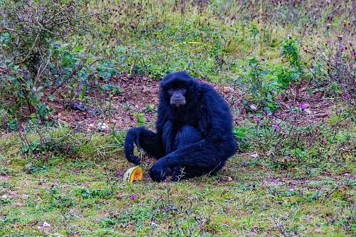 wildlife black monkey sitting on grass ape