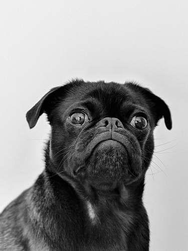 dog black pug black-and-white