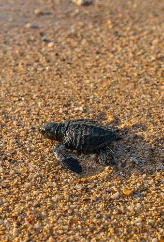 turtle black turtle on seashore reptile