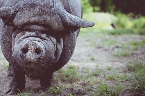 pig boar shallow focus photography hog