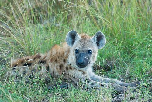 hyena brown and black hyena lying on green grass at daytime wildlife