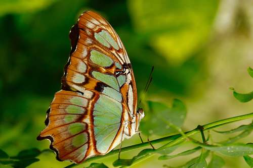 insect brown and green butterfly on plant invertebrate
