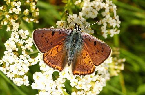 butterfly brown butterfly perched on flowers insect