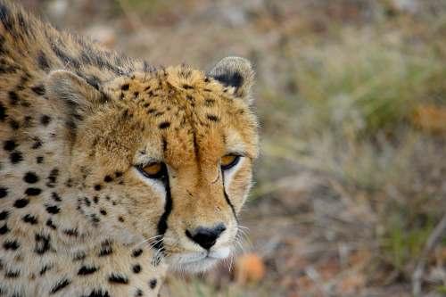 mammal brown Cheetah cheetah