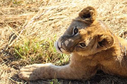 mammal brown cub on brown grass lion