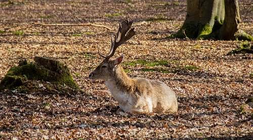 mammal brown deer on ground antelope