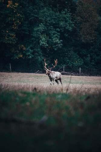 antelope brown deer running on grass mammal