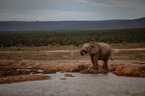 mammal brown elephant near body of water elephant