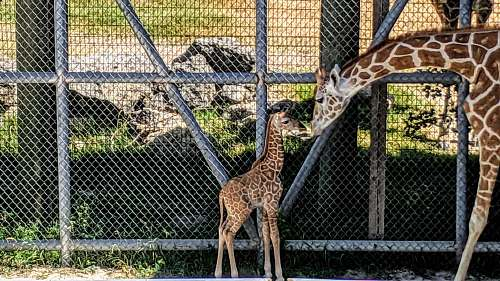 zoo brown giraffe with calf beside fence wildlife