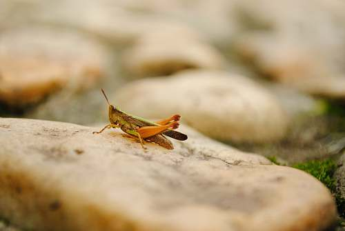 insect brown grasshopper selective focus photography grasshopper