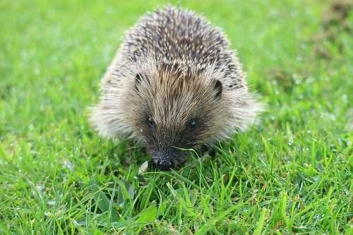 mammal brown hedge hog hedgehog