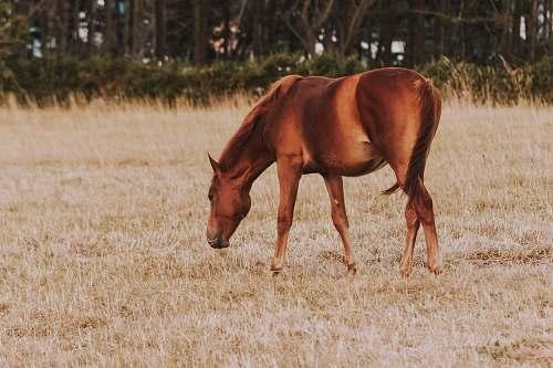 mammal brown horse in pasture horse
