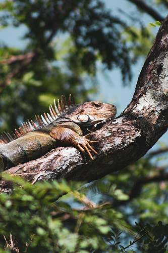 iguana brown lizard lizard