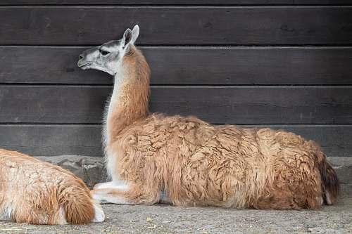 mammal brown llamma next to brown wooden wall alpaca