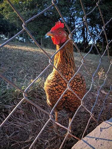 bird brown rooster chicken