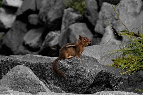 kangaroo brown squirrel on rock wallaby
