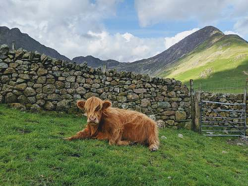 mammal brown yak on green field viewing mountain wildlife