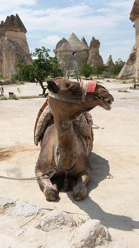 photo mammal camel lying on concrete floor while looking sideways camel free for commercial use images