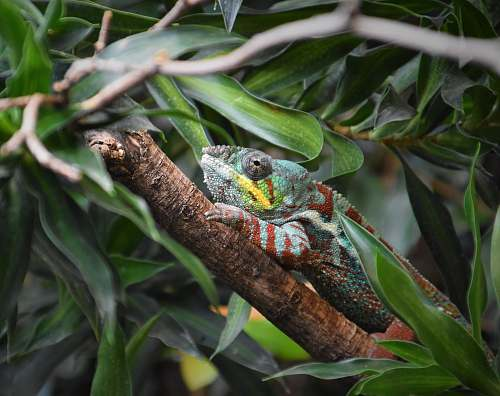 iguana chameleon perching on tree branch lizard