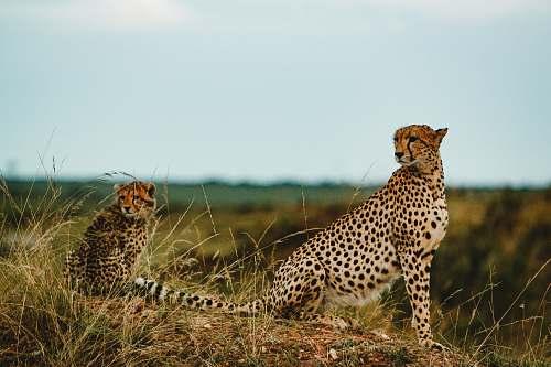 mammal Cheetah with cub on grass field cheetah