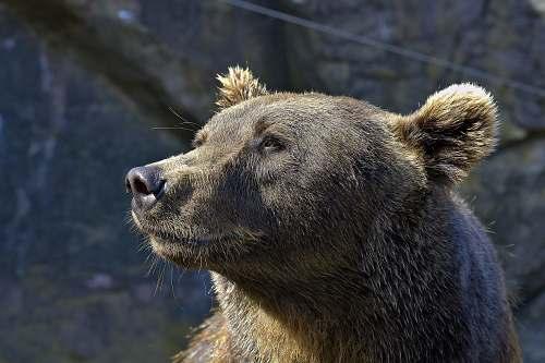 bear close-up photography of gray bear brown bear