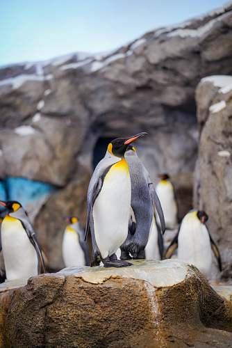 bird close-up photography of penguins king penguin