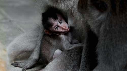 mammal closeup photography of gray monkey monkey