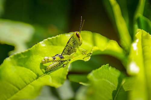 insect closeup photography of green grass hopper on green leaf invertebrate