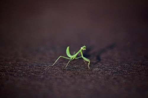 insect closeup photography of green praying mantis mantis
