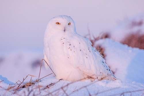 bird closeup photography of white owl on snow owl