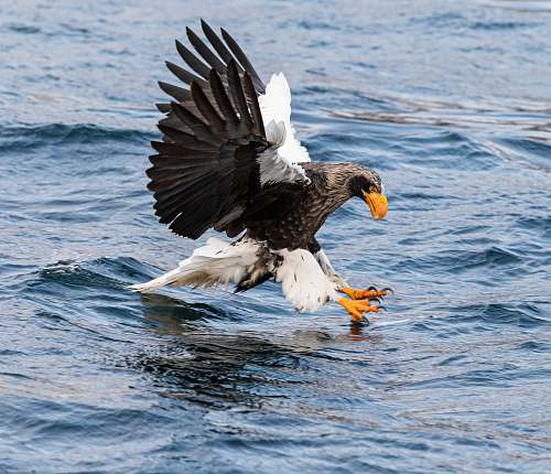 bird eagle catching fish on calm water eagle