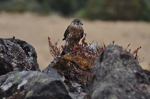 bird eagle perched on rock close-up photography buzzard