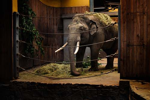 mammal elephant calf in room with metal wires elephant