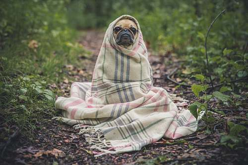 dog fawn pug covered by Burberry textile between plants pug