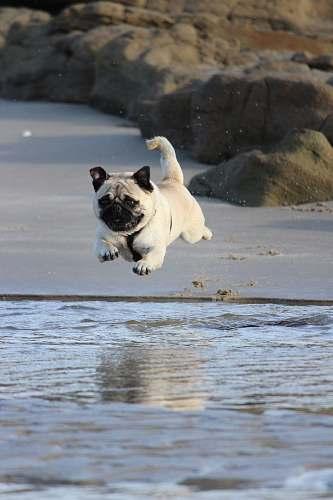 dog fawn pug jumping on water pug