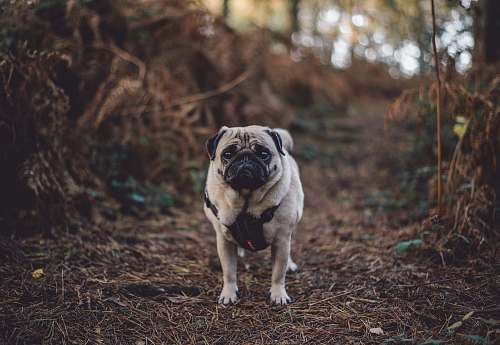 pet fawn pug standing between of bushes pug