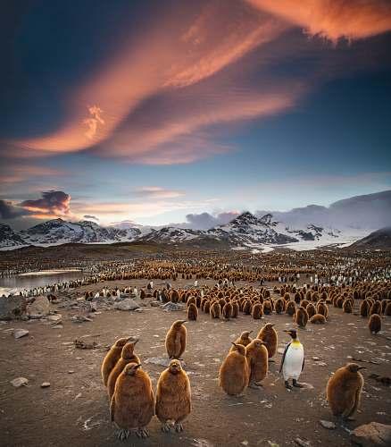 penguin flock of penguins bird