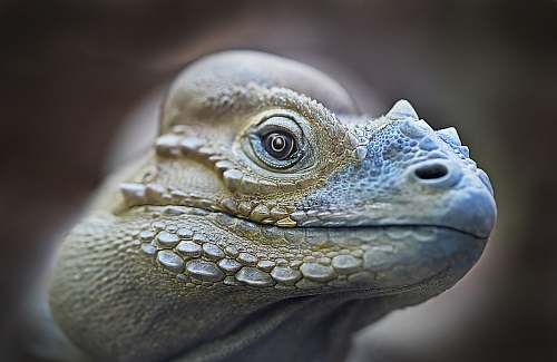 lizard focus photography of tortoise head iguana