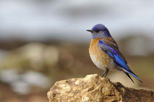 photo bird focused photo of blue and brown bird on the stone bluebird free for commercial use images