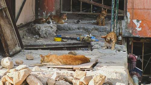 mammal four orange tabby cats on ground lion