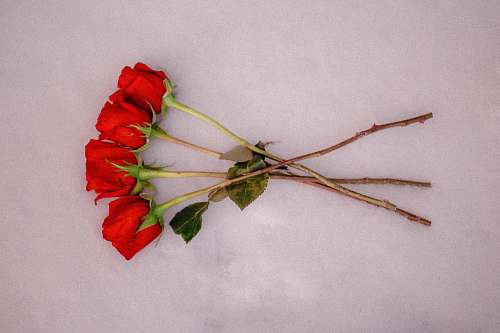 plant four red roses on white surface insect