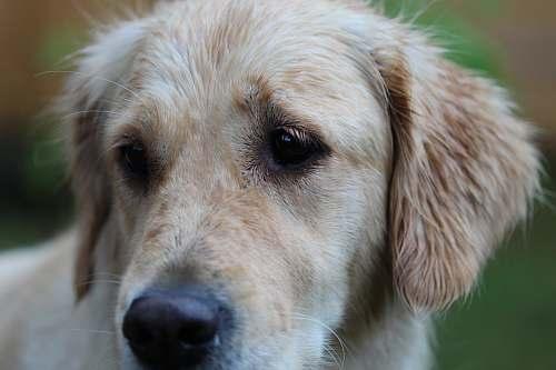 dog golden retriever puppy macro photography canine