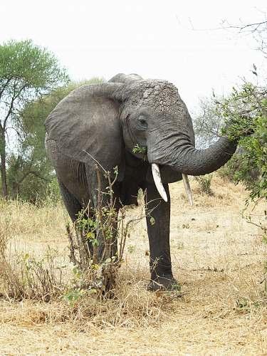 elephant gray elephant mammal