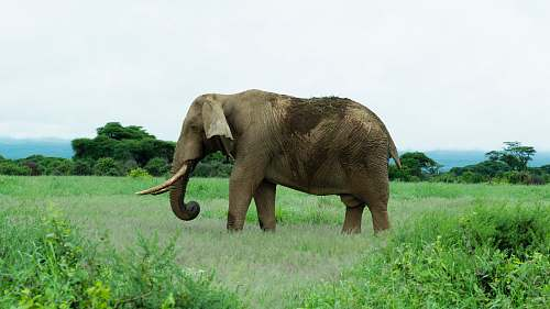 mammal gray elephant on green grass field elephant