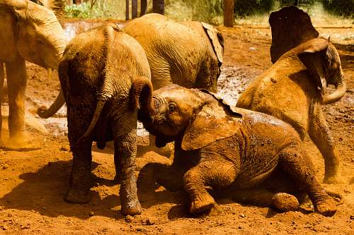wildlife gray elephants on brown sand elephant