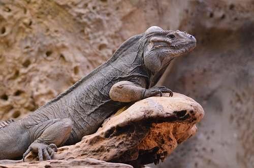 iguana gray iguana lizard
