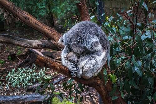 wildlife gray mother koala hugging baby koala koala