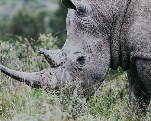 mammal gray rhinoceros rhino