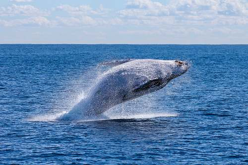 whale gray whale jumping on sea at daytime australia